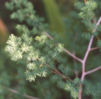 Picture of Asparagus retrofractus