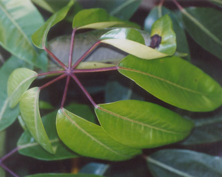 Picture of Schefflera pueckleri