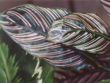 Picture of Calathea ornata