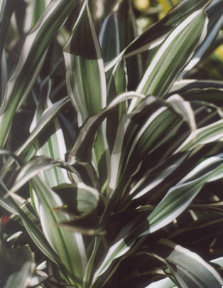 Picture of Dracaena warneckii