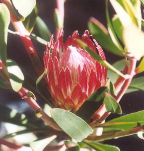Picture of Protea obtusifolia