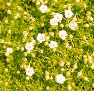 Picture of Arenaria verna