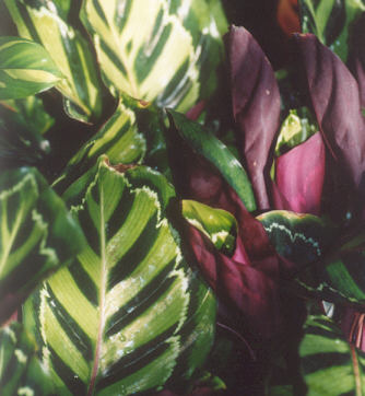 Picture of Calathea zebrina