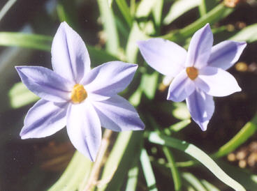 Picture of Ipheion uniflorum