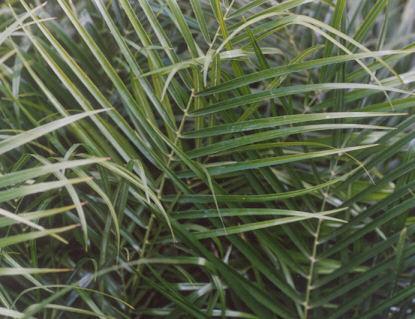 Picture of Phoenix roebelenii