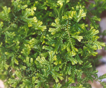 Picture of Selaginella martensii