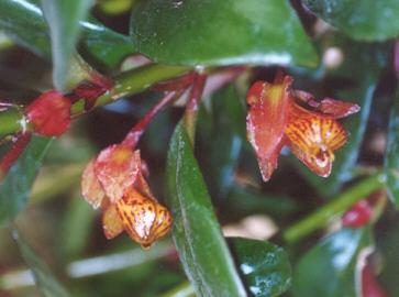Picture of Nematanthus tropicana