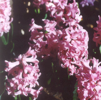 Picture of Hyacinthus orientalis