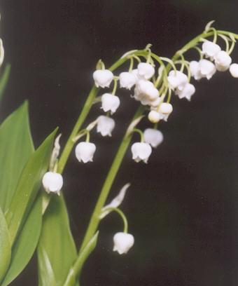 Picture of Convallaria majali