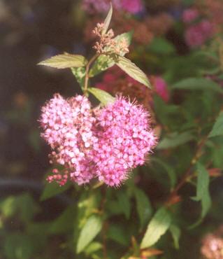 Picture of Spiraea japonica