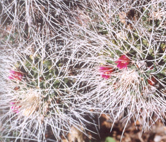 Picture of Mammillaria compressa