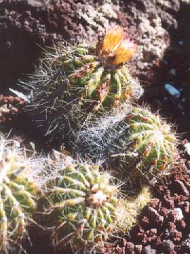 Picture of Notocactus horstii