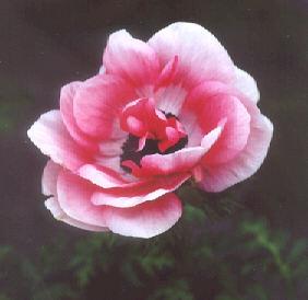 Picture of Anemone coronaria