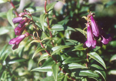 Picture of Penstemon x gloxinioides