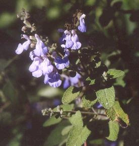 Picture of Salvia melissodora