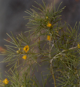 Picture of Senna artemisioides