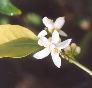 Picture of Citrus sp.