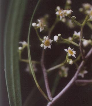 Picture of Geijera parviflora