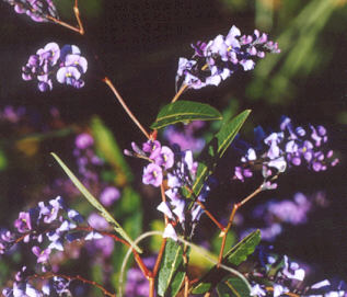 Picture of Hardenbergia violacea