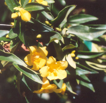 Picture of Gelsemium sempervirens