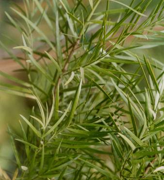 Picture of Podocarpus gracilior