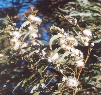Picture of Eucalyptus globulus