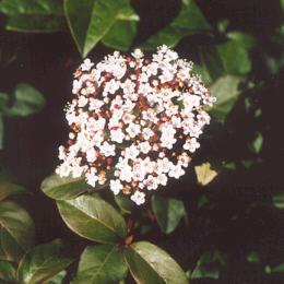 Picture of Viburnum tinus
