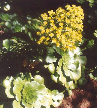 Picture of Aeonium sp.