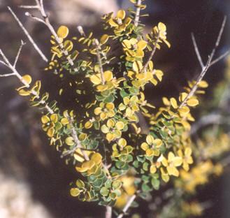 Picture of Leptospermum rotundifolium