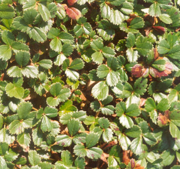 Picture of Fragaria chiloensis