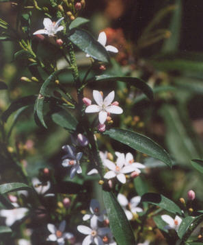 Picture of Eriostemon myoporoides