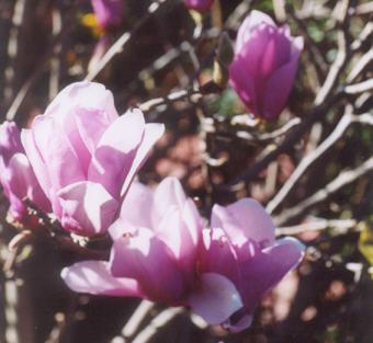 Picture of Magnolia x soulangeana