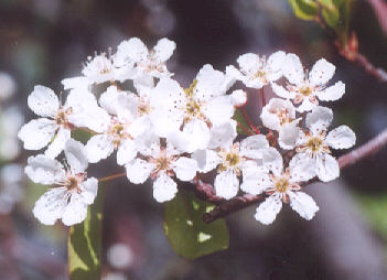 Picture of Pyrus sp.