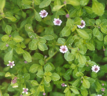 Picture of Phyla nodiflora