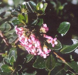 Picture of Escallonia x exoniensis