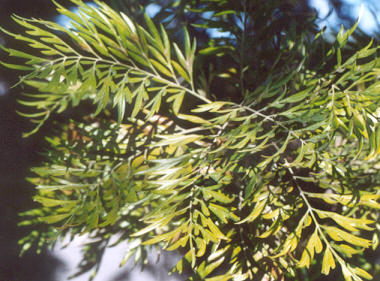 Picture of Grevillea robusta