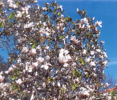 Picture of Magnolia veitchii