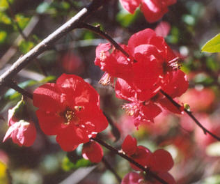 Picture of Chaenomeles sp.