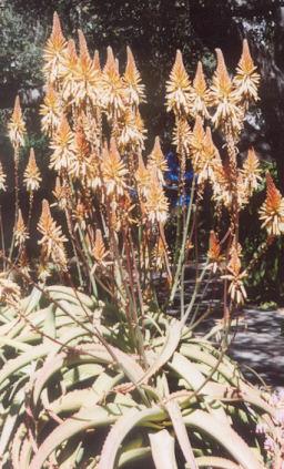 Picture of Aloe vanbalenii