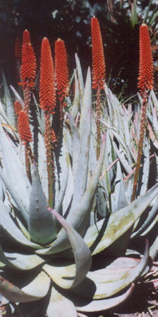 Picture of Aloe petricola