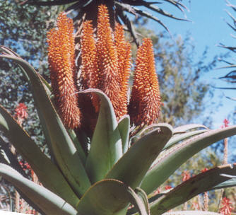 Picture of Aloe marlothii