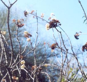 Picture of Fouquieria fasciculata