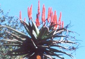 Picture of Aloe ferox