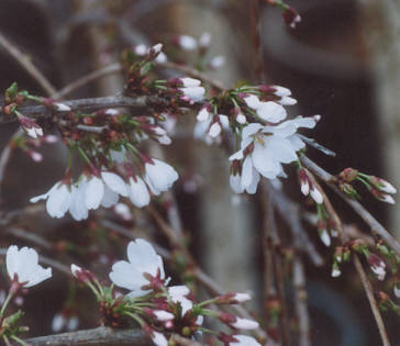 Picture of Prunus x 'snow fountain'
