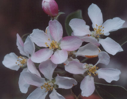 Picture of Malus pumila
