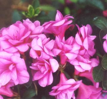 Picture of Rhododendron nuccio hybrid