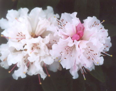 Picture of Rosamundi rhododendron