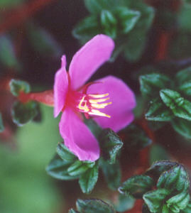 Picture of Centradenia floribunda