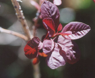 Picture of Cotinus coggygria