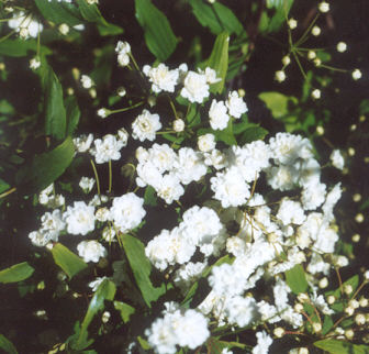 Picture of Spirea reevesian